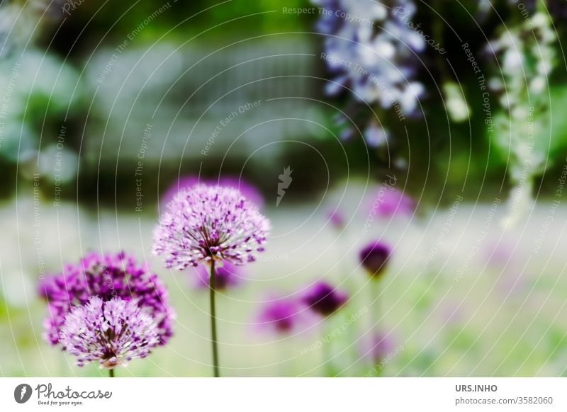 dreamy garden idyll | flowers of purple giants bleed Park Garden Dreamily Nature Exterior shot Blossoming spring Shallow depth of field Plant Colour photo
