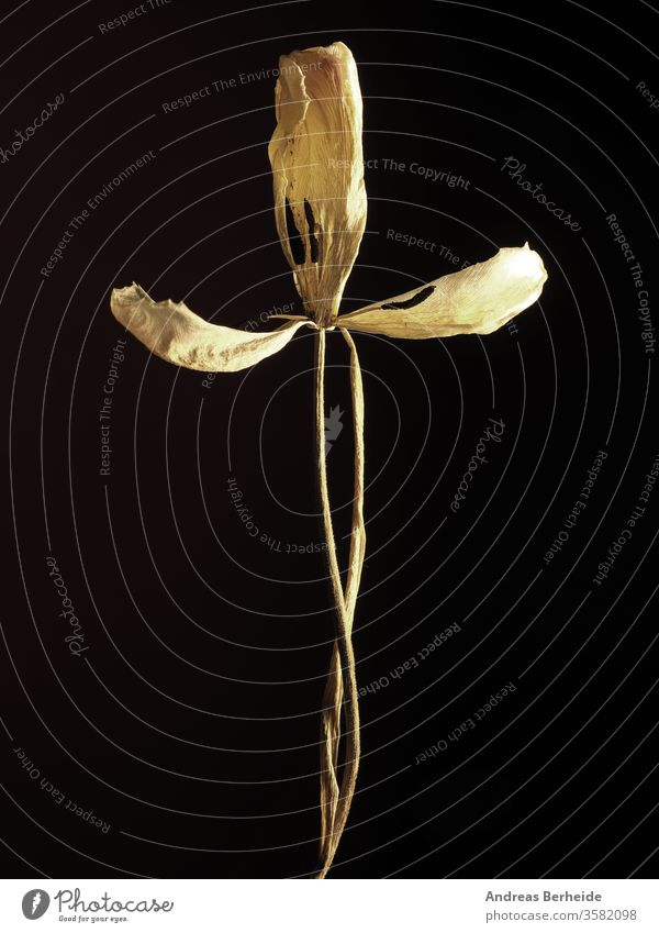 Old withered yellow tulip on a dark background fragility time textured frailty brittleness frailness natural gone floral petal flower life leaf condolence faded