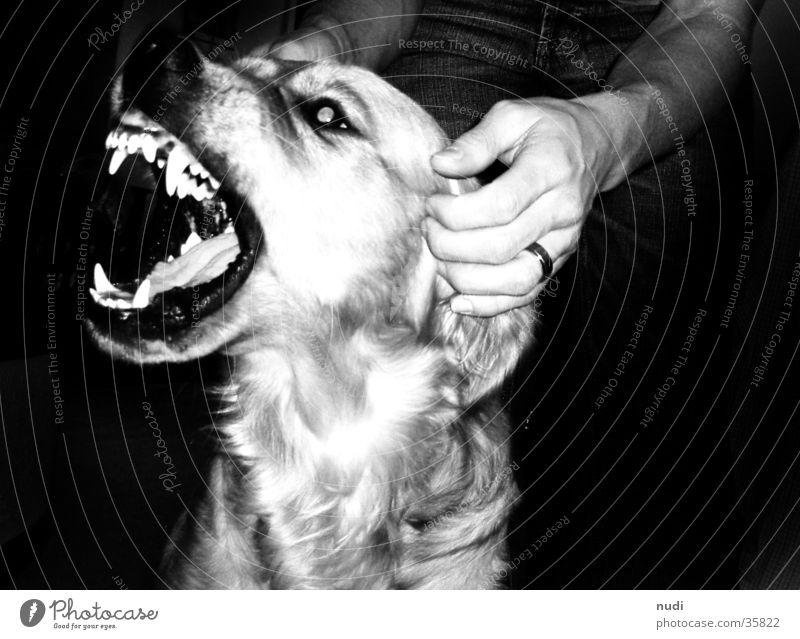 Hand White Black Eyes Dog Mouth Nose Set of teeth Tongue Muzzle Golden Retriever
