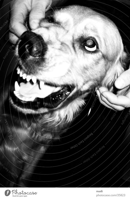 Bad dog? Black White Dog Pelt Golden Retriever Bird's-eye view Set of teeth Nose Tongue Eyes Contrast