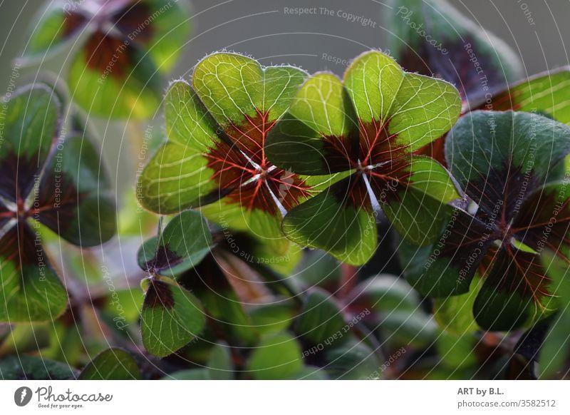lucky clover green cloverleaves Cloverleaf four Four-leaved clover plant