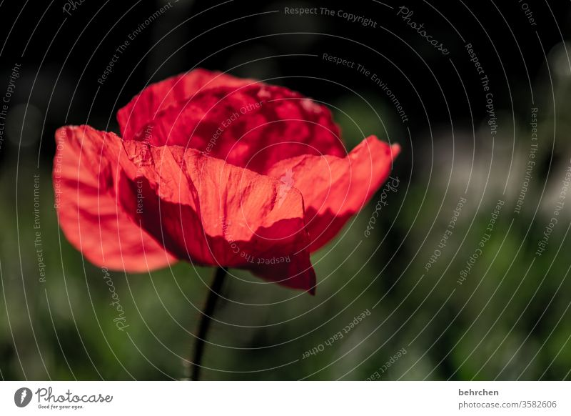 mo(h)ntag illumination Close-up Meadow already Agricultural crop Light Landscape Wild plant Warmth Environment Deserted Blossom leave Garden Sunlight Poppy