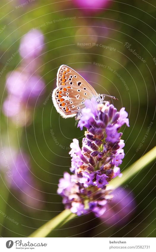 fluttering imprisonment Warmth Summery Illuminate Bright lilac butterfly bush pink Delicate Small pretty Nature Plant Animal Spring Flower Blossom Garden Park