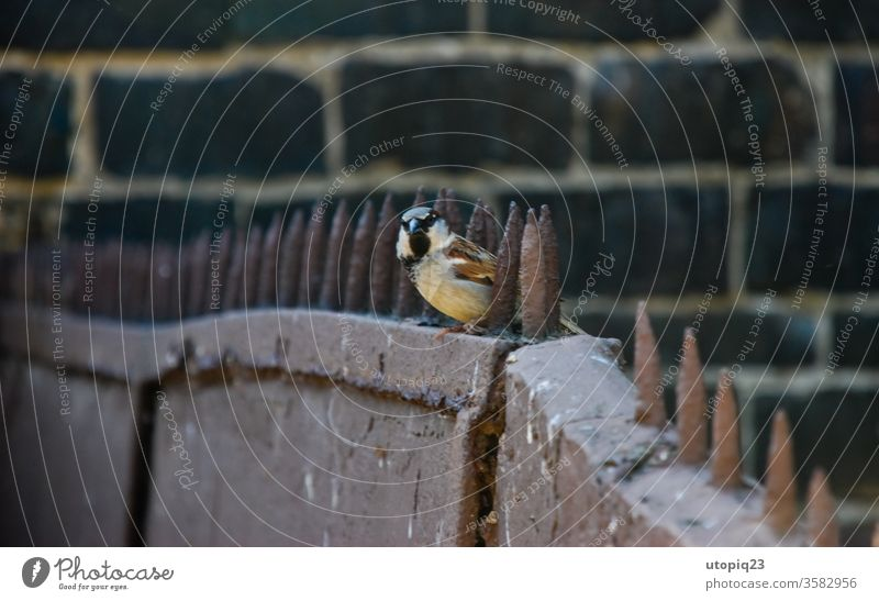 A little bird on the spiked fence Freedom boundless birds Small Sparrow Metal Border Barbed wire Barbed wire fence Wall (barrier) Fence Barrier Captured Thorny