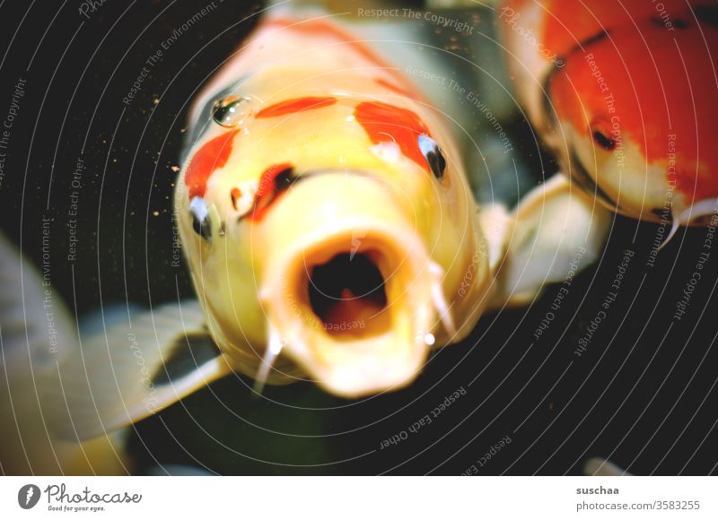 fish looks out of the water with open mouth Fish Ornamental fish Carp Koi Carps Water Pond Auarium Muzzle opened mouth Fright Horror emotion Expression