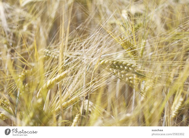 ears in a cornfield spike Cornfield Grain Grain field cereal grains Barley Wheat Rye Field Nature Agriculture Food Nutrition Agricultural crop Harvest Growth