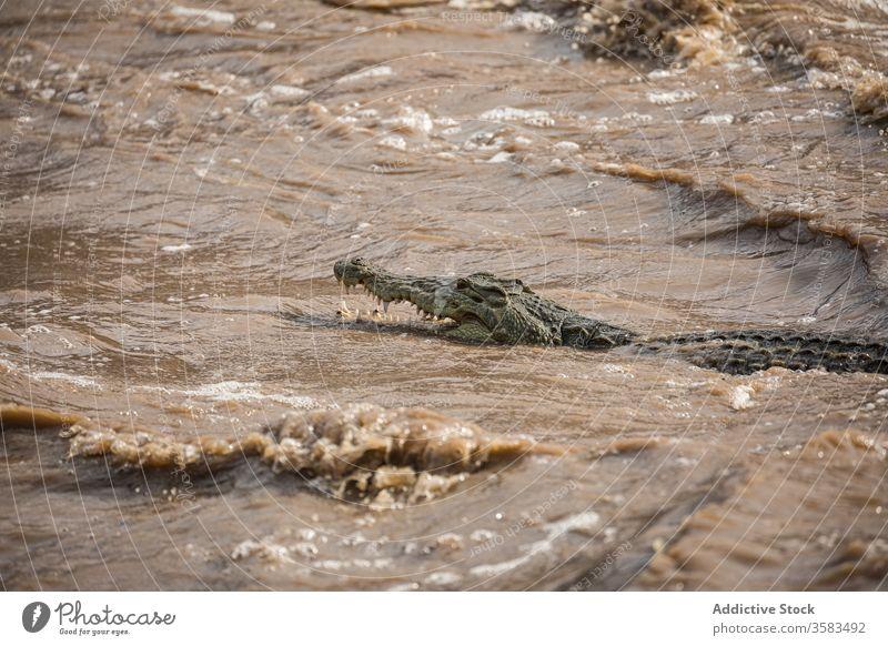 Crocodile swimming in river on sunny day crocodile dirty rapid water alligator wild animal stream mouth opened sharp africa ethiopia awash falls lodge teeth