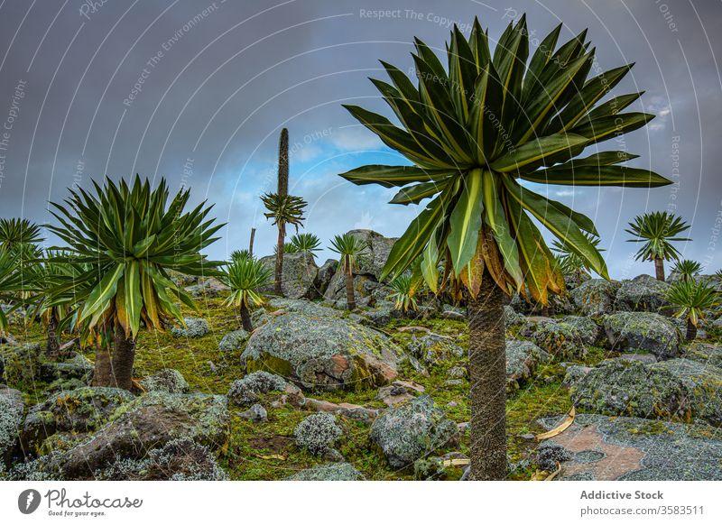 Tall African trees under thunder sky giant lobelia africa rocky lobelia rhynchopetalum terrain nature stormy stone sanetti plateau ethiopia foliage lush scenic