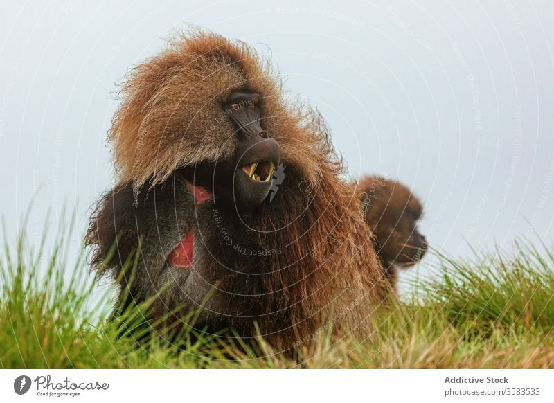 Gelada monkey grazing in green field graze eat grass gelada baboon africa wild animal fauna ethiopia creature mammal habitat sit nature meadow flora fresh