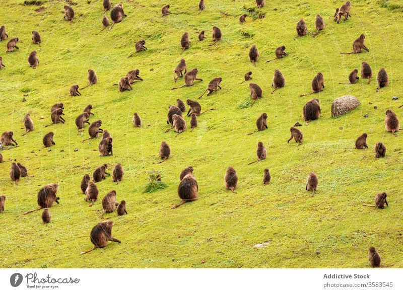 Large group of gelada monkeys grazing in green field graze eat grass baboon africa wild animal fauna ethiopia creature mammal habitat sit nature meadow flora