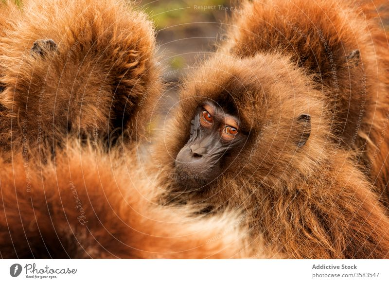 Muzzles of wild gelada monkeys muzzle group africa nature habitat fluff dense baboon crowd national park ethiopia animal fauna creature mammal primate ape