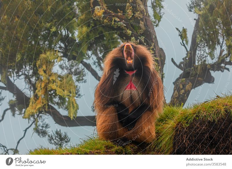 Male gelada monkey yawning under tree in forest baboon scream wood africa wild animal fauna yell ethiopia creature mammal habitat sit green grass overcast