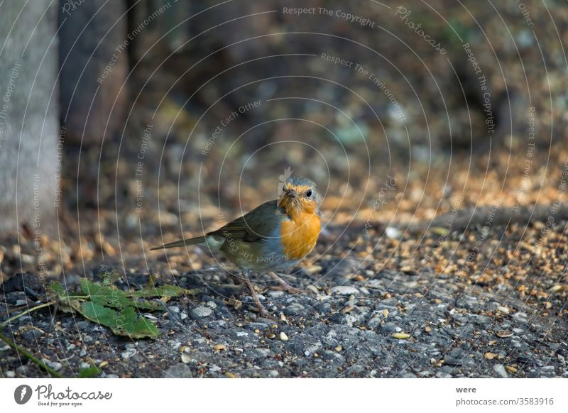 Robin sits in front of a picket fence on the ground looking for food Erithacus rubecula Winterbird animal copy space feathers fly forest nature nobody songbird