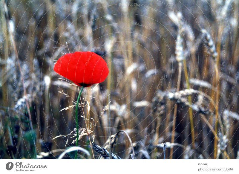 poppy blossom Poppy Red Field Blossom Flower Converse Grain Contrast Nature