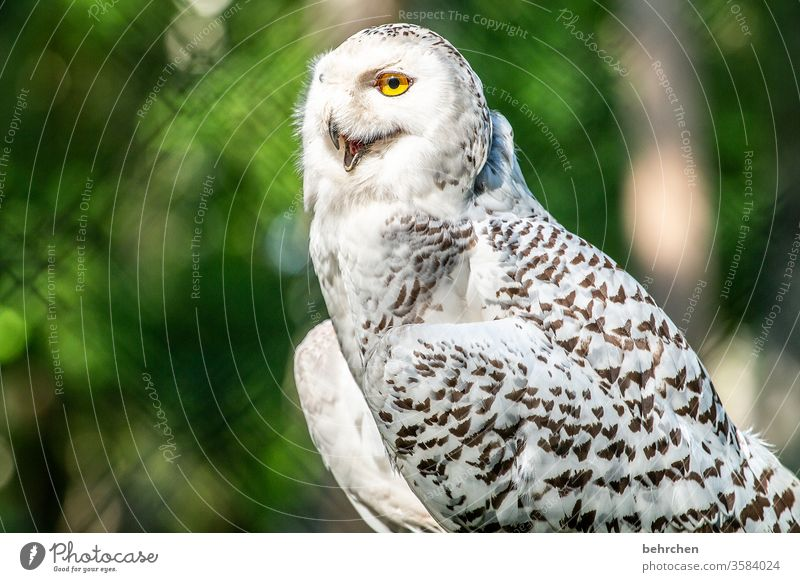 snow Exceptional Snowy owl Beak feathers Deserted Animal face pretty Nature Wild animal Animal portrait Animal protection Grand piano Bird Love of animals