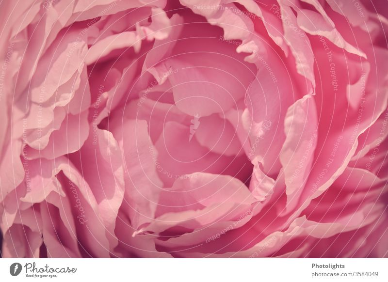 Pink blossom of a peony Close-up already macro photography aromatic plant Elegant Floristry Romance Moody Plant Blossoming spring Detail flowers petals Peony