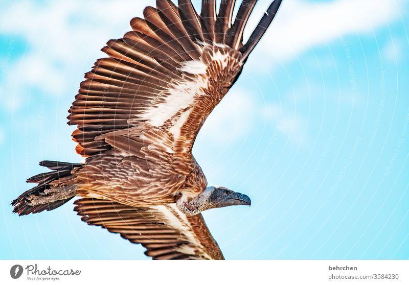 Vulture nosedive Blue sky Impressive Air high up Exceptional Animal Wild animal Contrast Light Exterior shot Colour photo Fantastic Sky Freedom especially birds