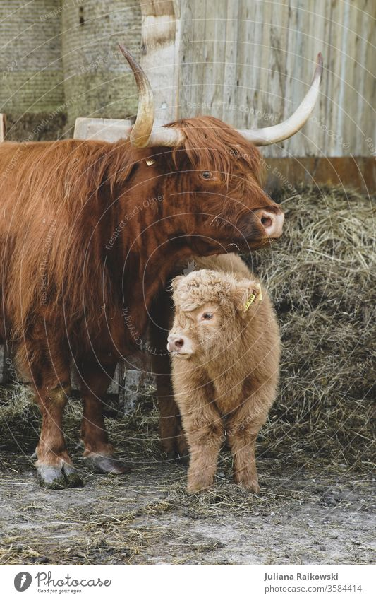 sweet highland cattle calf with mother Calf Highland cattle Animal chill Farm animal Exterior shot Brown Cattle horns Animal portrait Pelt Nature Sweet Baby