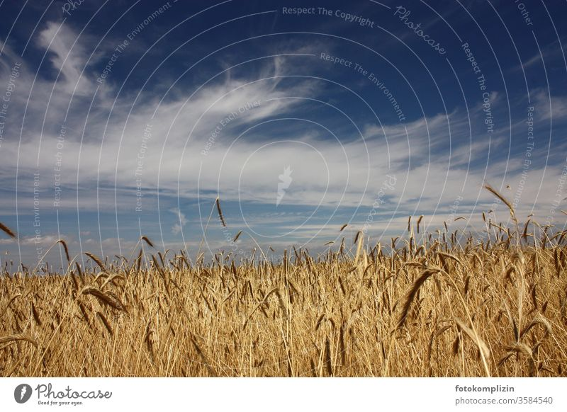 Grain field with sky cereal cultivation corn stalk Field fields field management Agricultural crop Cornfield grain Farmer Agriculture Ear of corn ACRICULTURE