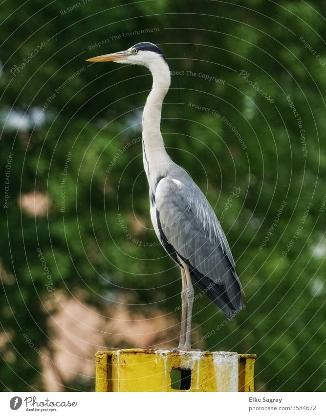 sharp look into the distance... herons Grey heron Nature Wild animal natural Colour photo Deserted Copy Space left