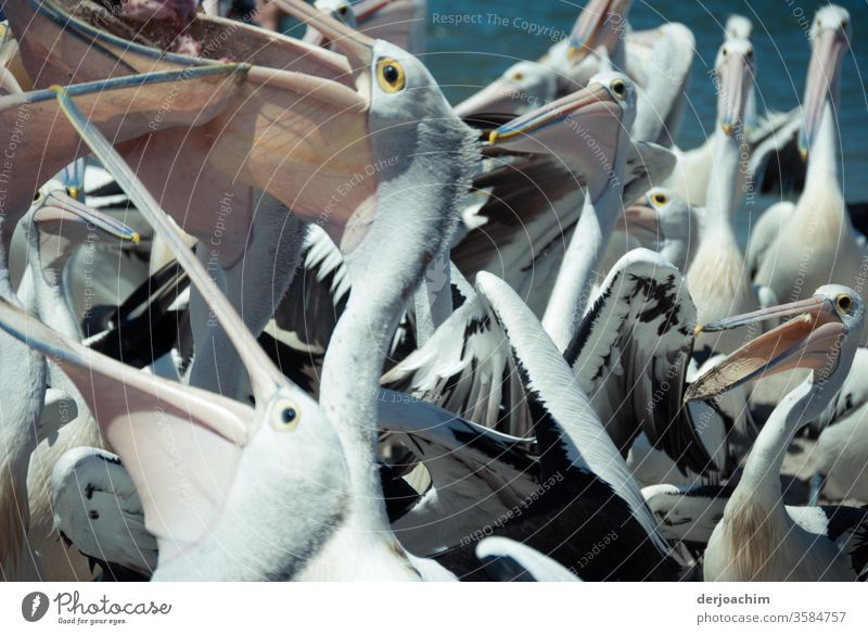 """"""" The Big Eat """" quite a few pelicans stand together and want a piece of the fish. With their mouths open. Pelicans Flock Ocean Animal Fish Colour photo"""