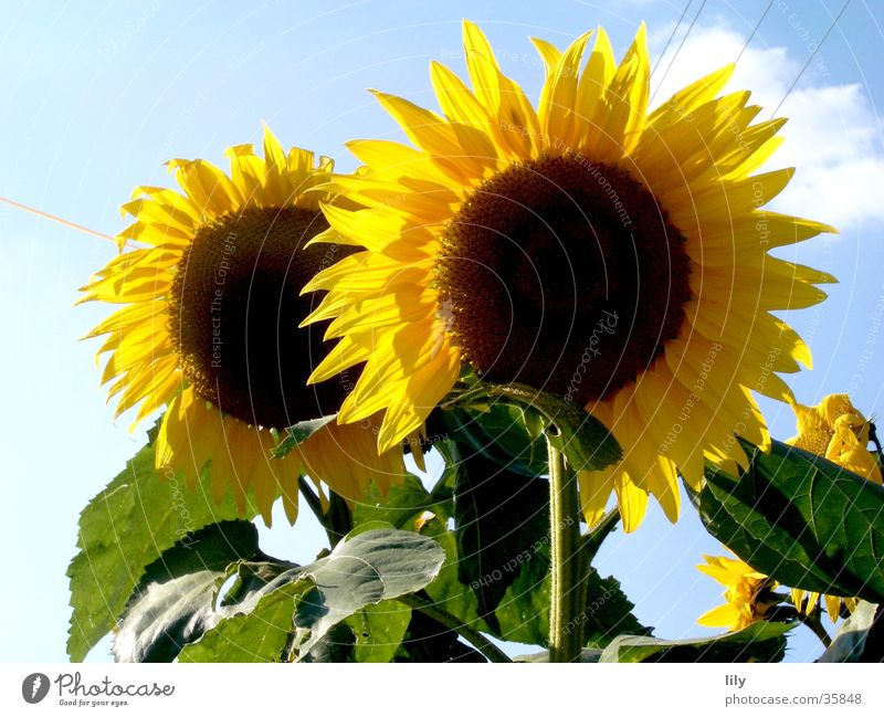 duo Flower Sunflower Yellow Leaf Green 2 Inseparable Summer Sky Blue Lighting In pairs