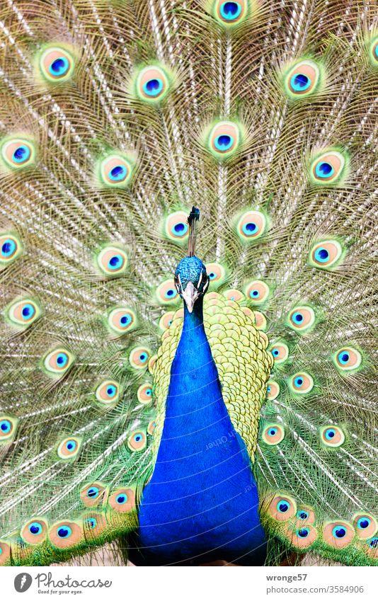 Blauer Pfau mit ausgebreiteter Federkrone Vogel Pfauenhahn balzen Nahaufnahme Tierpark Zoo Park Lebewesen Vögel Außenaufnahme Tag Frontalaufnahme