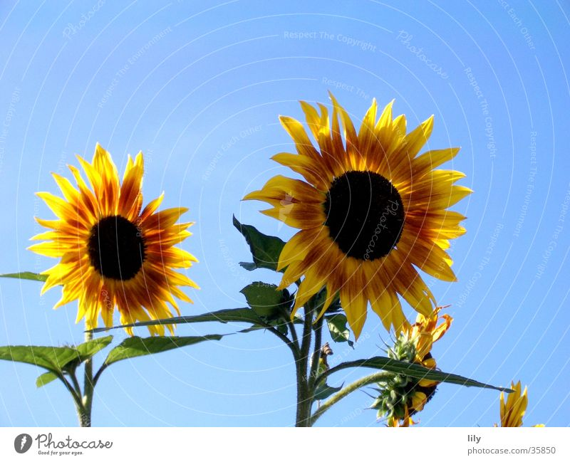 Sun Flower Green Red Summer Yellow Together Lighting In pairs Sunflower Blue sky Inseparable