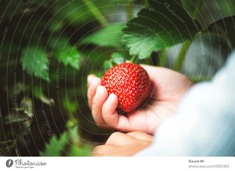 a small child picks a juicy red strawberry from the garden Strawberry Time fruit tidbit already berry fruit fruit varieties yield profitable Collector
