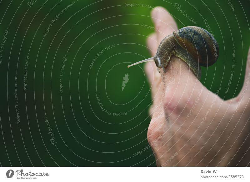 a Roman snail crawls along on one hand Crumpet by hand escargot present Glide Crawl Snail shell Slowly lame snail's pace Feeler Animal Close-up Vineyard snail