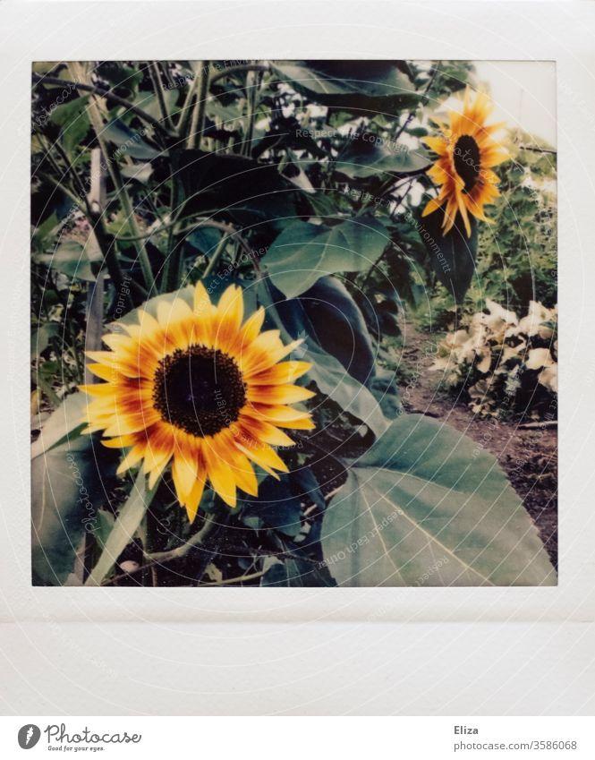 Polaroid with sunflowers in the garden Sunflowers Analog already Retro vintage Nature Garden Yellow Plant