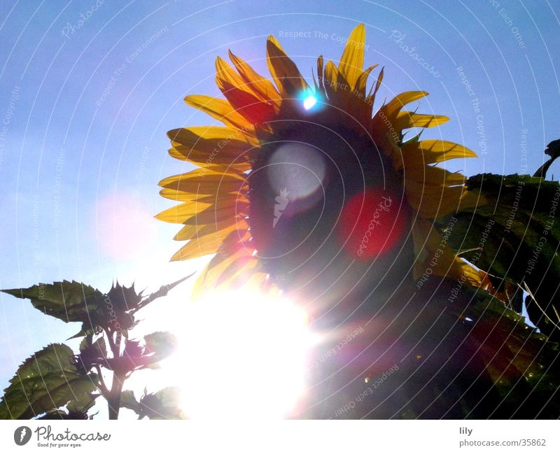 Sun Flower Summer Sunflower Blue sky