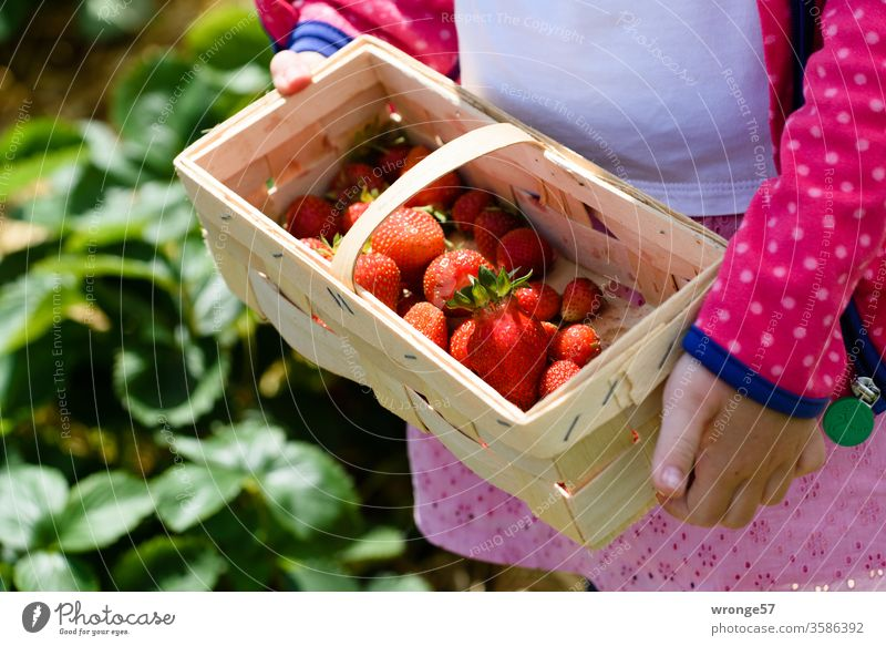 Child shows a basket with freshly harvested strawberries girl Chip basket Basket Strawberry Fresh strawberry field Strawberry harvest Summer fruit Red Mature