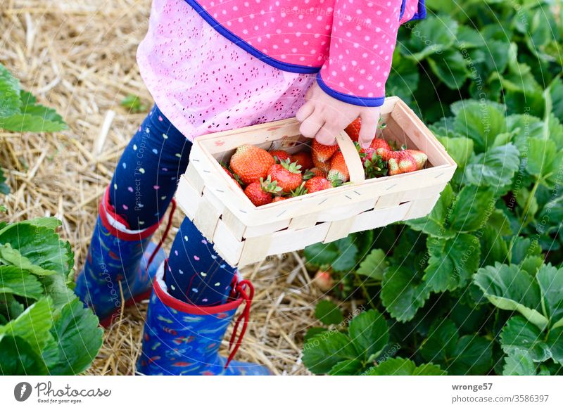 Child stands on a strawberry field with a basket of fresh strawberries girl Chip basket Basket Strawberry Fresh Strawberry harvest Summer fruit Red Mature