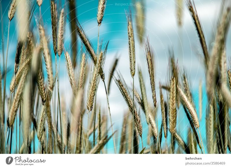 vital | cereals ecologic Awn Idyll idyllically Agriculture Exterior shot Harvest Nutrition Plant Agricultural crop Environment Landscape Deserted Food grain