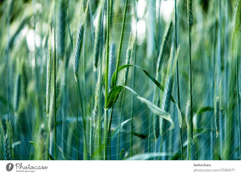 or even two ;)) Field Grain Grain field Barley Rye Wheat Oats Summer Agriculture Ear of corn Nature Cornfield Food Nutrition Plant Agricultural crop Environment
