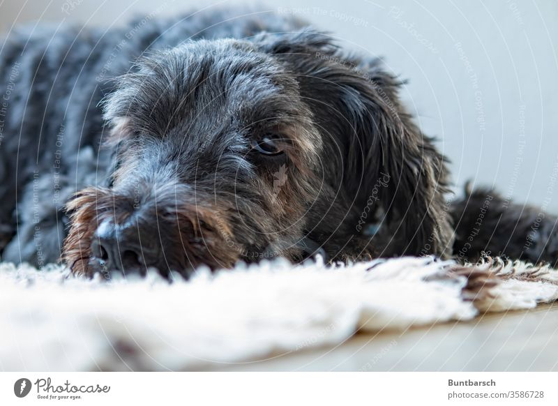 Old friend Dog Shapendoes Pet Animal Animal portrait Colour photo Looking Animal face Close-up Pelt Snout Deserted Observe Eyes Looking into the camera Cuddly