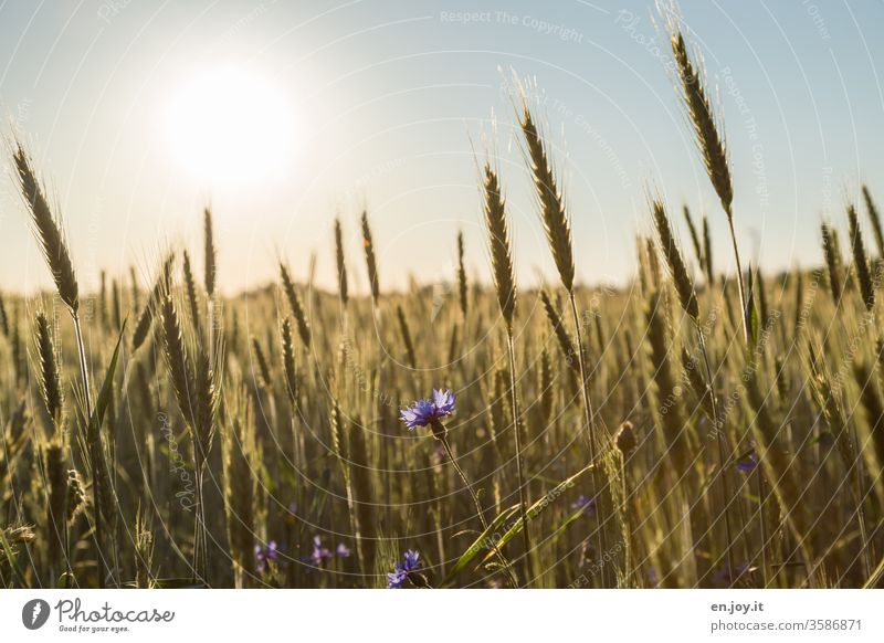 Cornflower in a wheat field at sunset Wheat Wheatfield grain Cornfield Grain Grain field Ear of corn cornflowers agrarian Agriculture Growth ecologic Nutrition