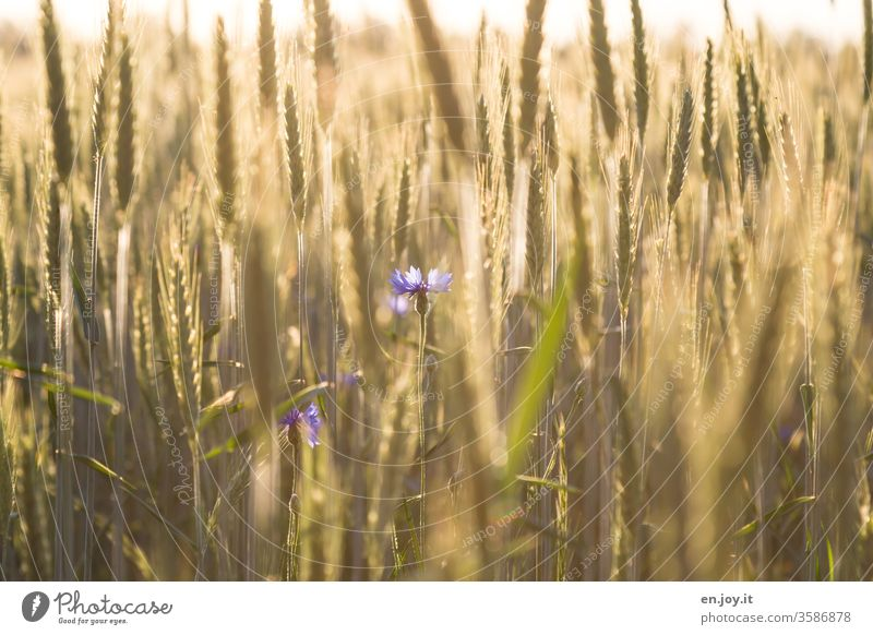 Cornflowers in a wheat field Wheat Wheatfield grain Cornfield Grain Grain field Ear of corn cornflowers agrarian Agriculture Harvest Field Summer Nature
