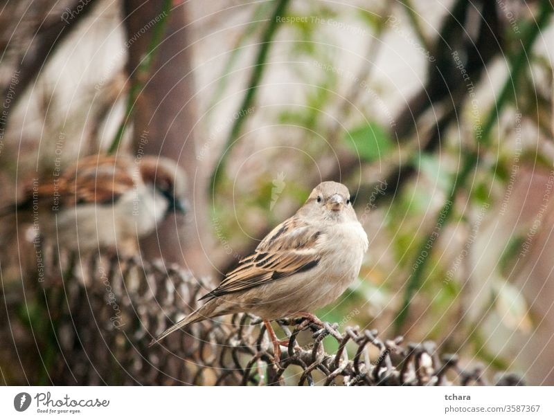 Small brown sparrow on metal fence portrait eurasian tree sparrow close-up close-ups perching backyard wing eating bird in grass backyard birds birdwatching