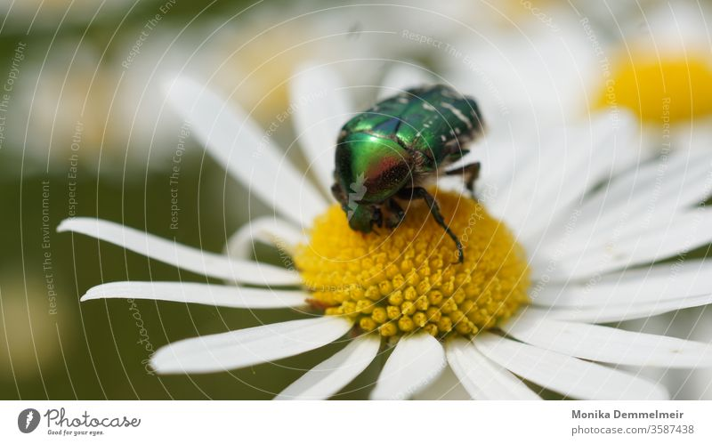 rose chafer Rose beetle Animal Beetle Macro (Extreme close-up) Close-up Insect Crawl Nature Glittering Animal portrait Detail Exterior shot Garden Plant spring