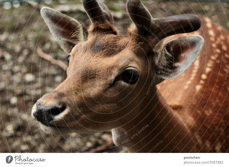 Close-up of a boy roebuck. Wildlife, wild animal. Bambi Roe deer reindeer buck Wild animal Animal Love of animals Animal protection Nature Mammal
