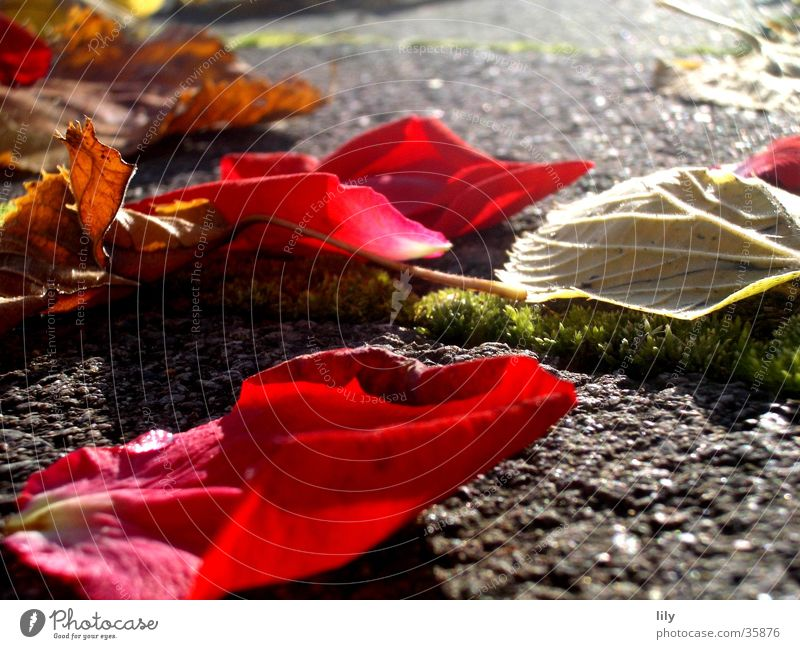 autumn foliage Autumn Light Rose leaves Leaf Red Intensive Sun Lighting Stone Colour Moss