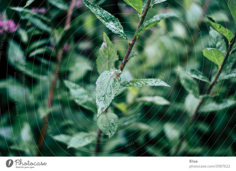 Wet green leaves of a plant outdoors in the rain Nature Plant Drop Rain shrub Damp Rainy weather flaked
