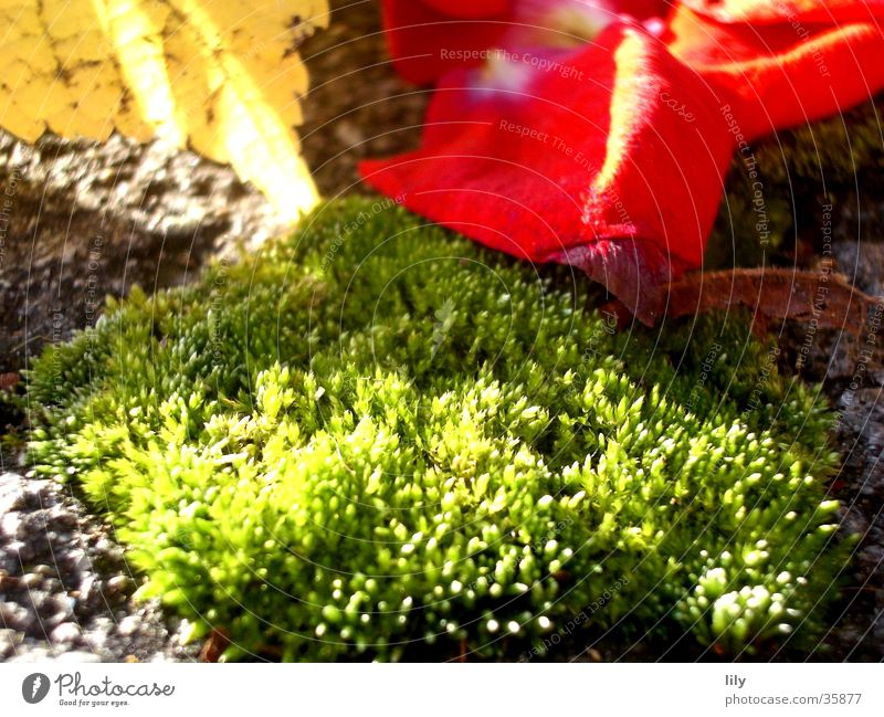 rose moss Rose leaves Leaf Autumn leaves Light Red Green Sun Lighting Moss