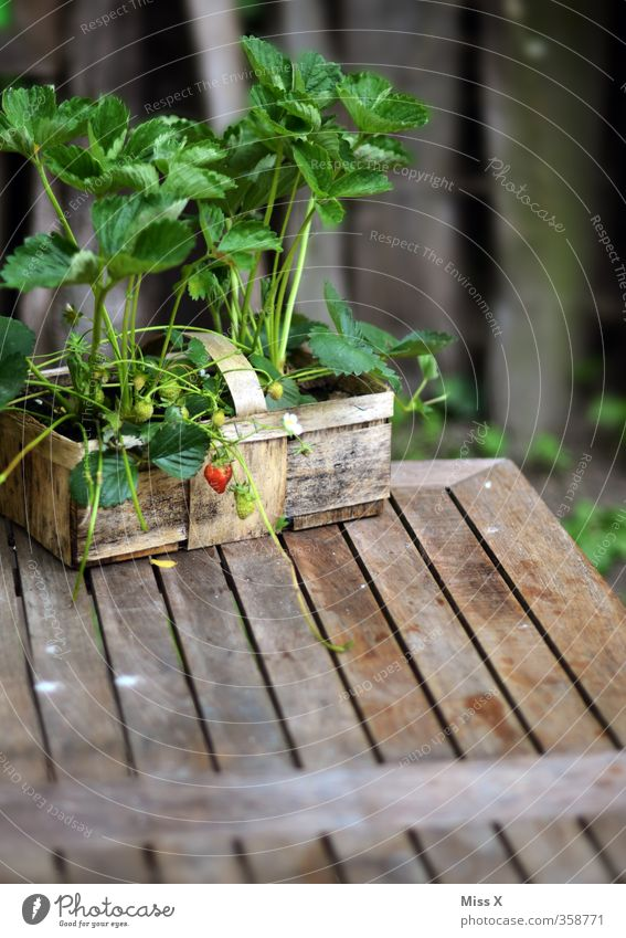 Small Garden Food Fruit Growth Table Nutrition Sweet Harvest Delicious Organic produce Gardening Basket Strawberry Extend Immature