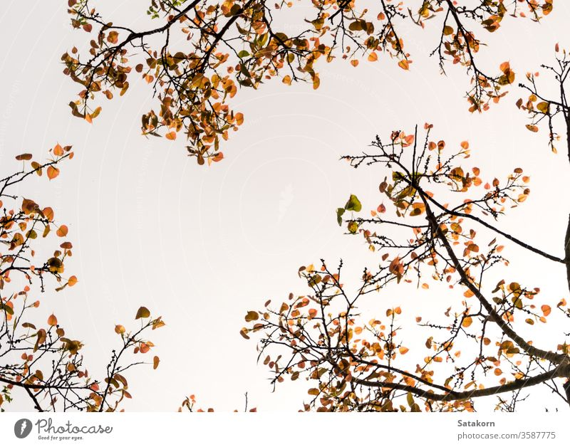 A Low Vantage Point to the leaves of Sacred Fig Tree , Looking up to the sky through light sun tree ficus forest green branches nature sunlight background wood