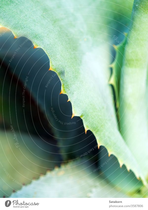 Succulent plant close-up, thorn and detail on leaves of Agave plant succulent agave leaf green white wax silvery gray beautiful nature texture symmetrical