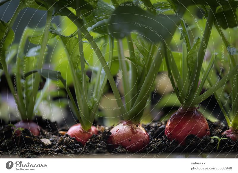 radishes ready for harvest in the balcony box Vegetable Radish Vegetarian diet Nutrition Food Fresh natural Delicious Organic produce Colour photo Red Earth