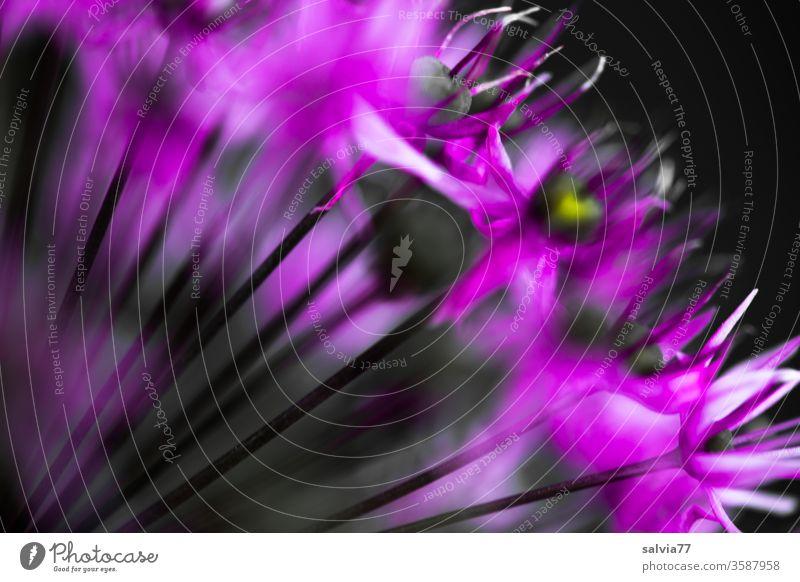 Macro shot of an ornamental garlic flower with a lot of blur Blossom allium Violet Flower Nature Garden Shallow depth of field Abstract blurriness